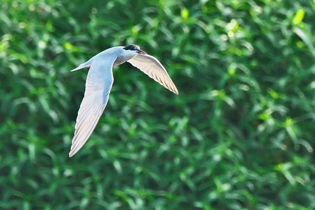クロハラアジサシ/Whiskered tern