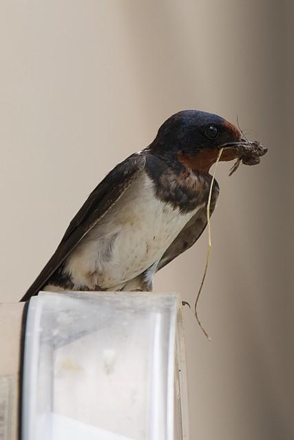 ツバメ/Barn swallow