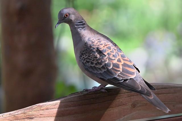 カワラバト/Oriental turtle dove