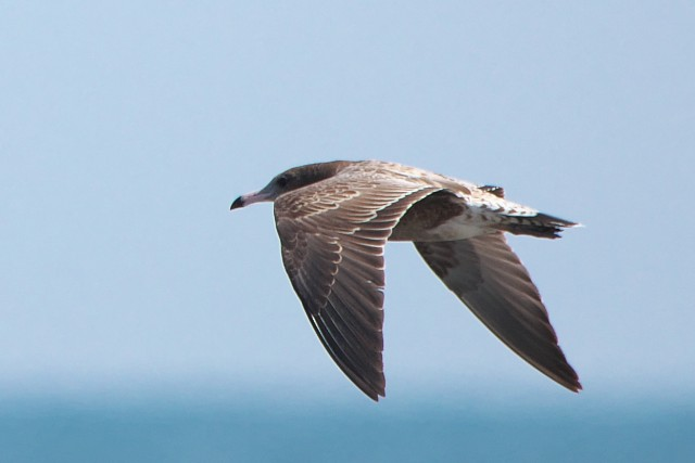 ウミネコの幼鳥?/Black-tailed gull?
