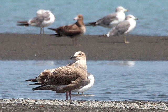 セグロカモメの幼鳥?/European herring gull?