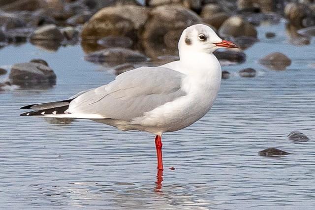 ユリカモメ/Black-headed gull