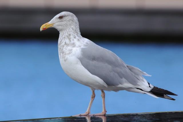 セグロカモメ/European herring gull