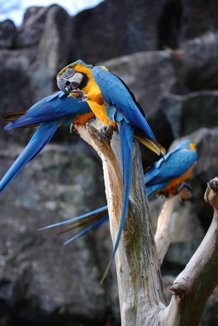 コンゴウインコ/Macaw